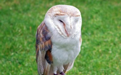 Barn_owl_perched_on_post_with_grass_background_for_editors'_text_copy_wording_2