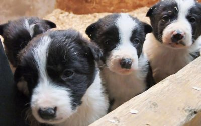 Border_Collie_pups_playing_in_a_box_with_sawdust_bedding_3
