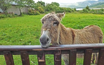 Donkey_looking_over_gate_in_Ireland_1jpg_100