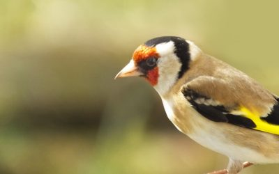 Goldfinch_feeding_from_a_Tube_peanut_seed_Feeder_4