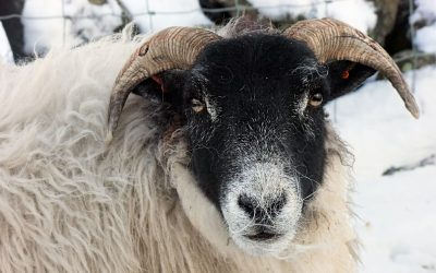 Sheep_standing_in_snow_in_Ireland_pjpg_100